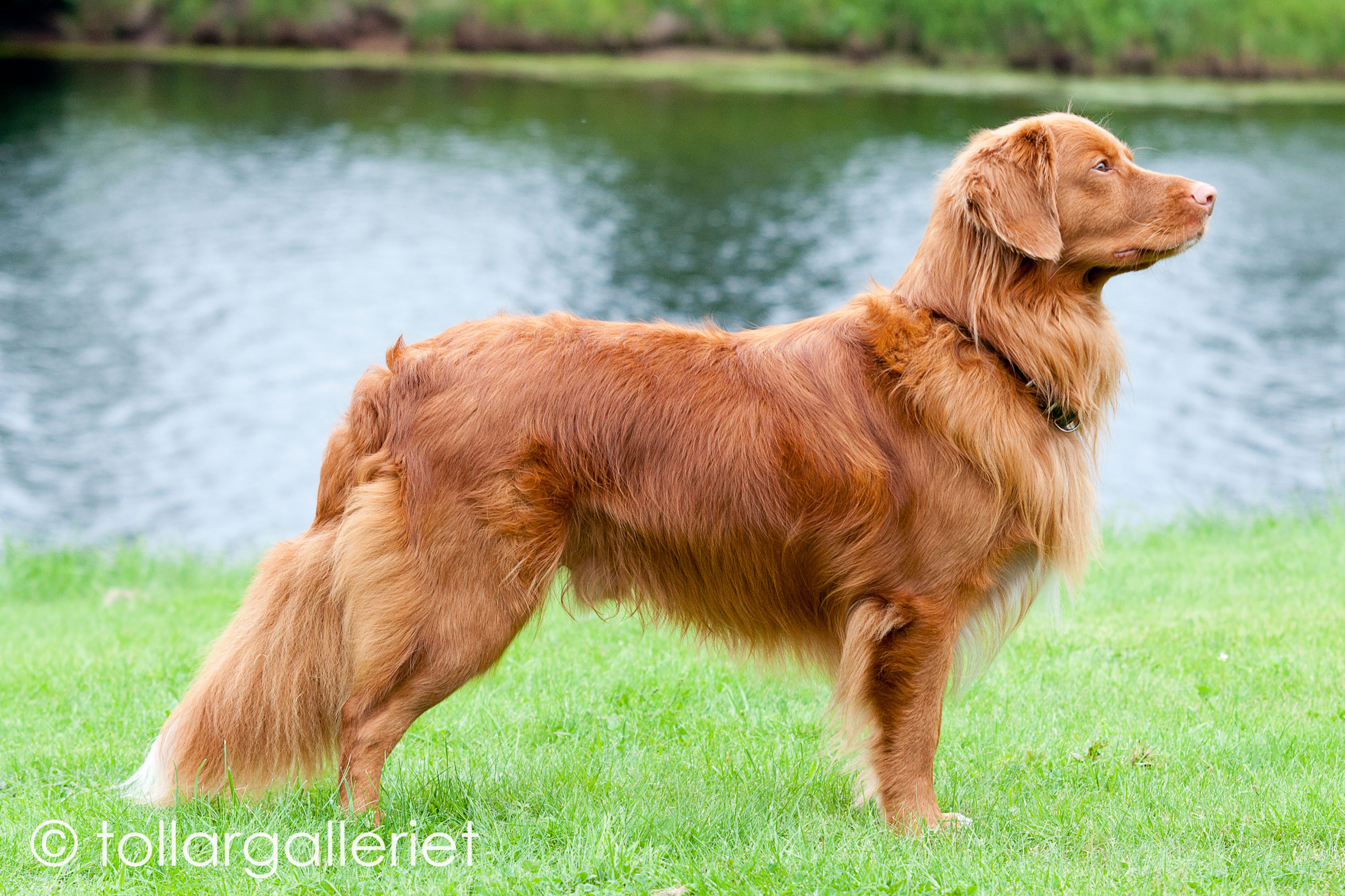 Digby Tollers Pimento