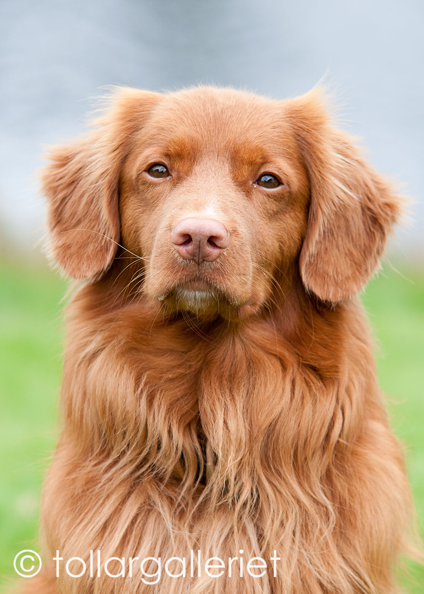 Digby Tollers Pimento 2
